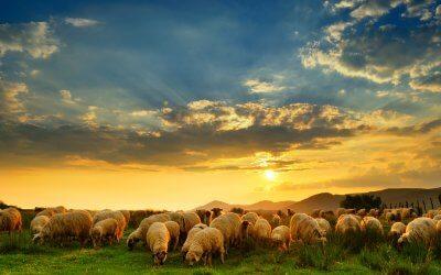 Sheep Don't Kill Sheep